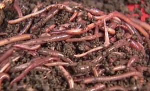 ďaždovky pre vermikompostovanie