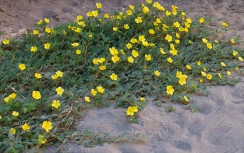 Tribulus terrestris prostredie pestovanie