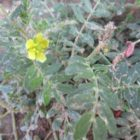 tribulusový kvet