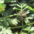 zrele semienko